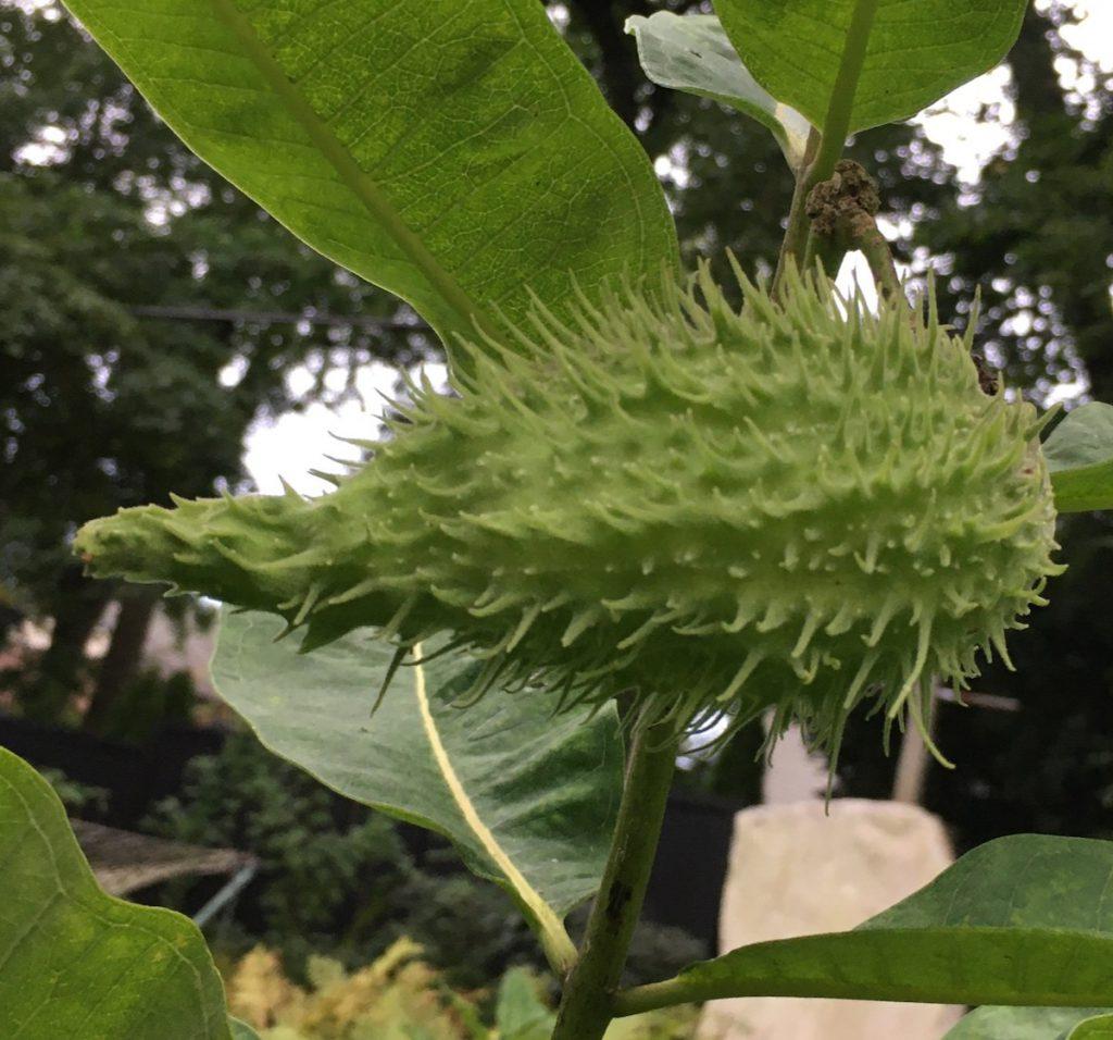 milkweed pod, summer 2021